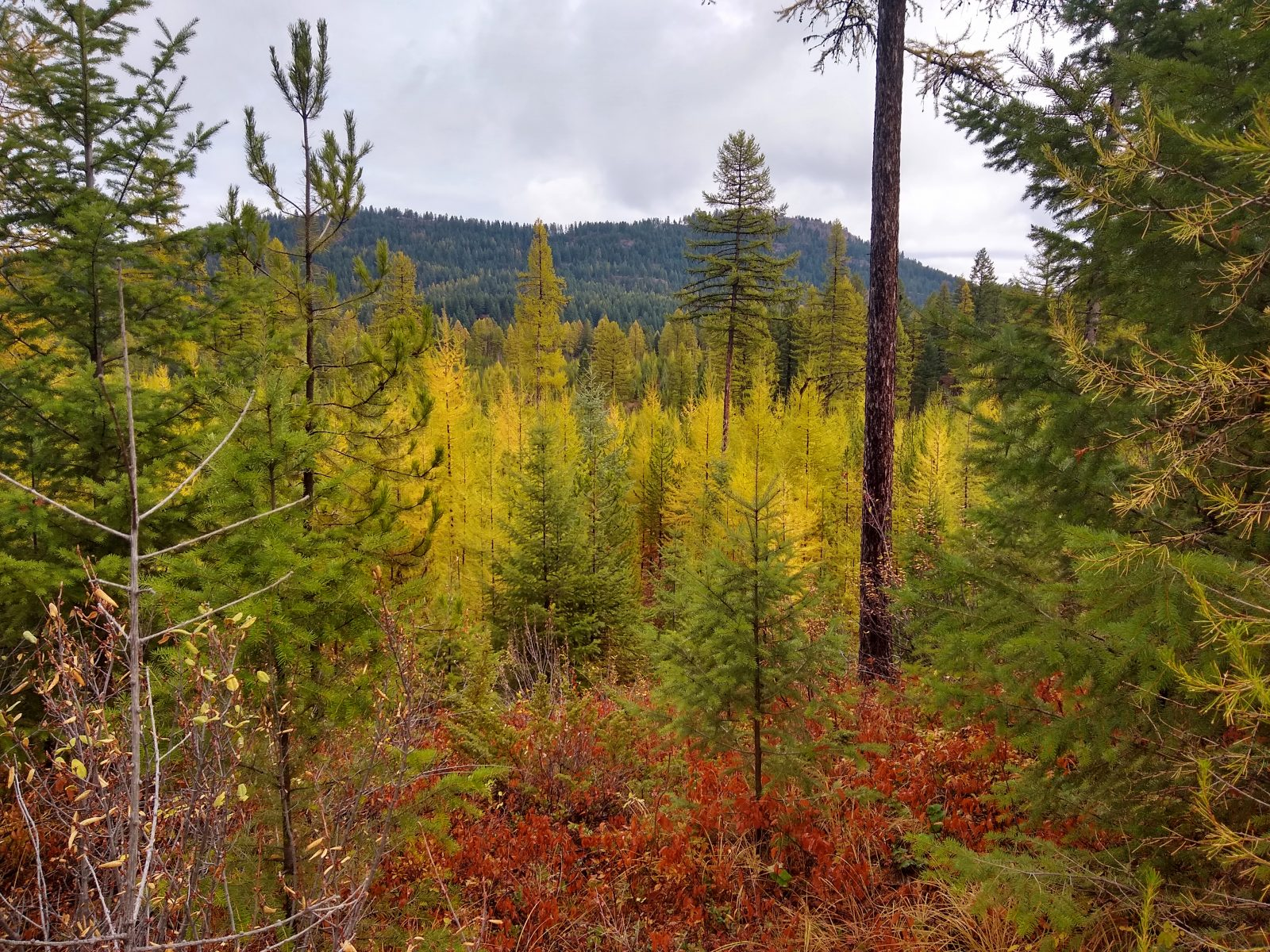 Larch trees turning yellow on the Whitefish Trail