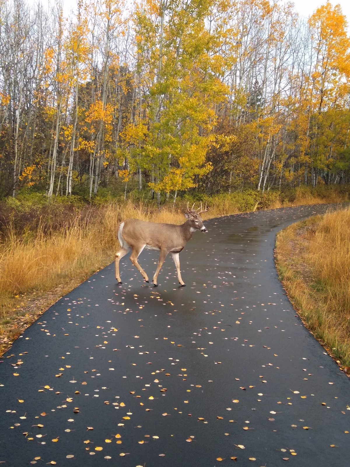 Buck on the Whitefish paved path